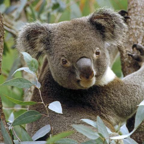 Коала на дереве в Австралии